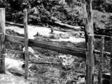 Jonestown piggery