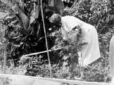 Hoeing in garden