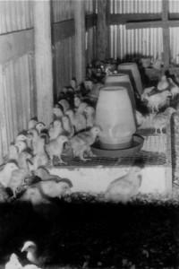 05-15-chicksINjt
